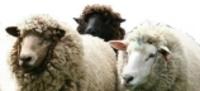Sheepheads_2