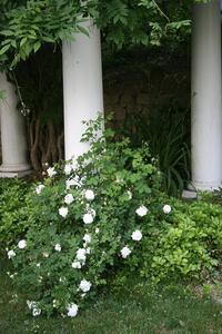 Rosespergola_2