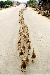 Ducks_in_a_row_1